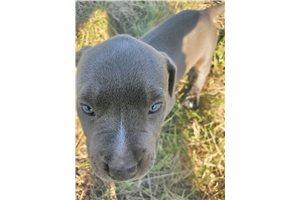 Iris - American Pit Bull Terrier for sale