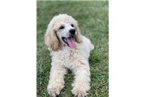 Stetson - Poodle, Standard for sale