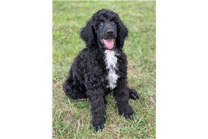 Cinch - Poodle, Standard for sale
