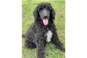 Whiskey - Poodle, Standard for sale
