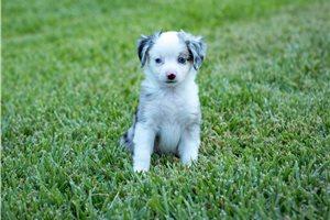 Bella - Miniature Australian Shepherd for sale
