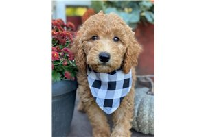 Reeses - Poodle, Standard for sale