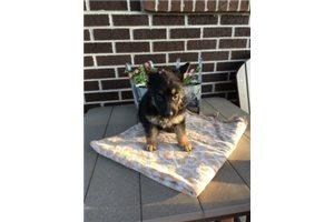 Bella - German Shepherd for sale
