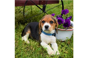 Dolly - Beagle for sale