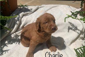 Charlie Sloan - Labradoodle for sale