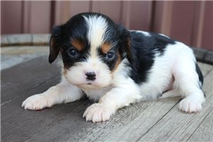 Layla - Cavalier King Charles Spaniel for sale