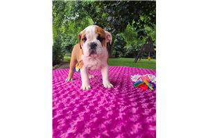 Lexi - English Bulldog for sale