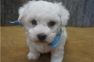 Colby - Bichon Frise for sale