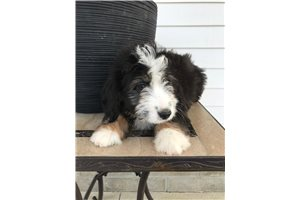 Lucy - Bernedoodle, Mini for sale