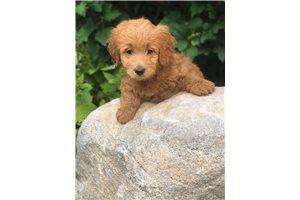 Carnation - Goldendoodle, Mini for sale