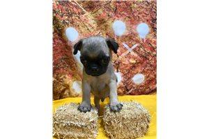 McGregor - Pug for sale