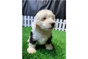 Wyoming - Bernedoodle, Mini for sale