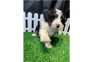 Wensy - Bernedoodle, Mini for sale