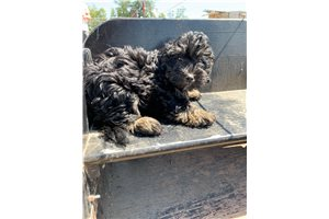 Summerly - Bernedoodle, Mini for sale