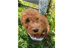 Zan - Poodle, Miniature for sale