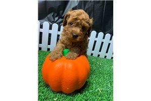 Mercury - Poodle, Toy for sale
