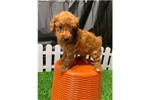 Thursday - Poodle, Toy for sale