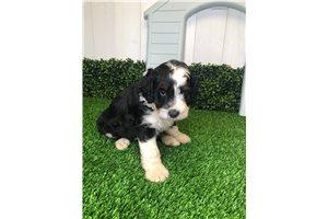 Reggie - Bernedoodle, Mini for sale