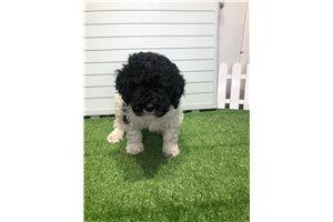 Jimini - Poodle, Miniature for sale