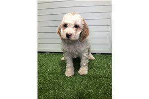 Jenny - Poodle, Miniature for sale
