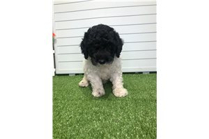 Jenae - Poodle, Miniature for sale