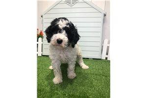 Jemma - Poodle, Miniature for sale