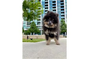 Prince - Pomeranian for sale