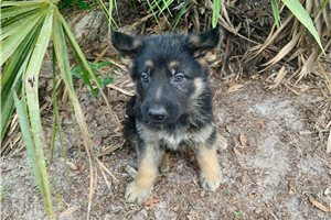 Shadow - German Shepherd for sale
