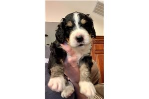 Ron - Bernedoodle for sale