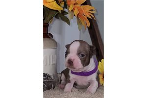 Kirsten - Boston Terrier for sale