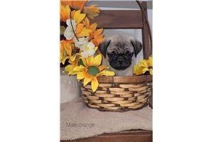 Cole - Pug for sale