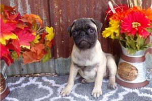 Daisy - Pug for sale