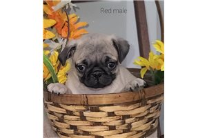 Chase - Pug for sale