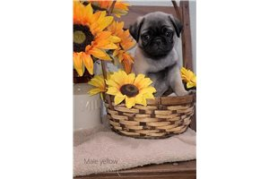 Cody - Pug for sale