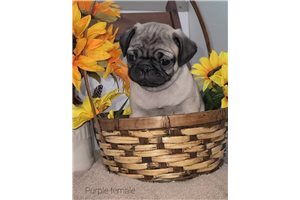 Chloe - Pug for sale