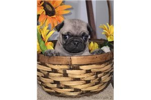 Joey - Pug for sale