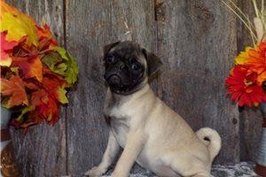 Sadie - Pug for sale