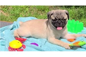 Cassie - Pug for sale