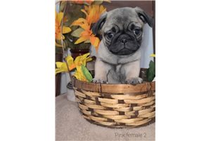 Claire - Pug for sale