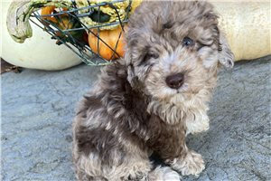 MaryBeth - Poodle, Toy for sale