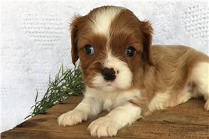 Rover - Cavalier King Charles Spaniel for sale