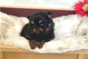 Penny - Pomeranian for sale