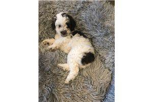 Spottie - Poodle, Miniature for sale