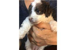 Dotty - Poodle, Miniature for sale