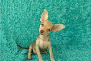 Leo - Chihuahua for sale