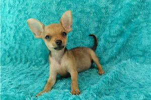 Michael - Chihuahua for sale