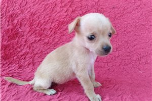 Bubbles - Chihuahua for sale