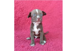 Harry - Chihuahua for sale