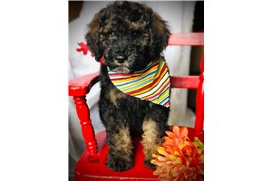 Gus - Bernedoodle, Mini for sale