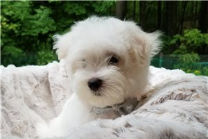 Cotton Tail - Maltese for sale